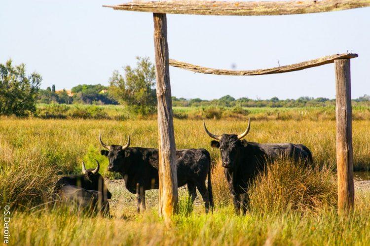 Taureaux sauvages Camargue